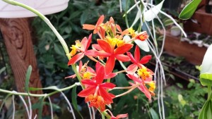Firey Reed Orchid