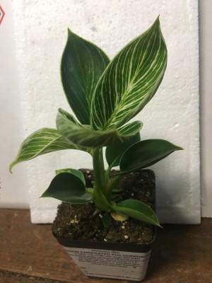Philodendron Birkin Variegata