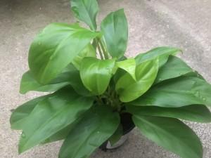 Philodendron Eva