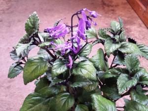 Plectranthus Purple Spur