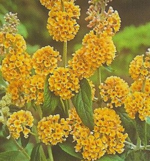 Butterfly Bush Yellow