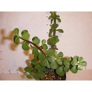 Baby Leaf Jade Plant