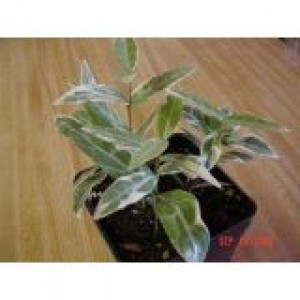 Asian Jasmine variegated vine